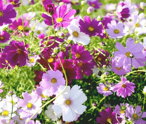 Cosmos Sensation Mix Seeds - Cosmos Bipinnatus