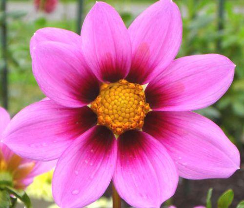 Cosmos Sonata Pink Blush Dwarf Seeds - Cosmos Bipinnatus