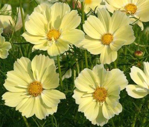 Cosmos Yellow Seeds - Cosmos Bipinnatus