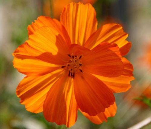 Cosmos Sulphur Ladybird Orange Dwarf Seeds - Cosmos Sulphureus