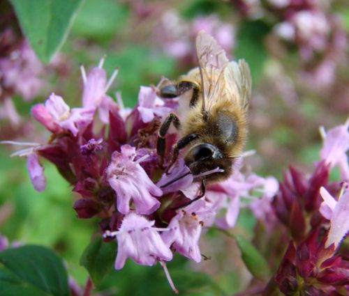 Creeping Thyme Seeds - Thymus Serpyllum 4