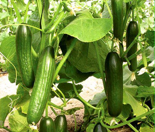 Cucumber Beit Alpha Seeds - Cucumis Sativus