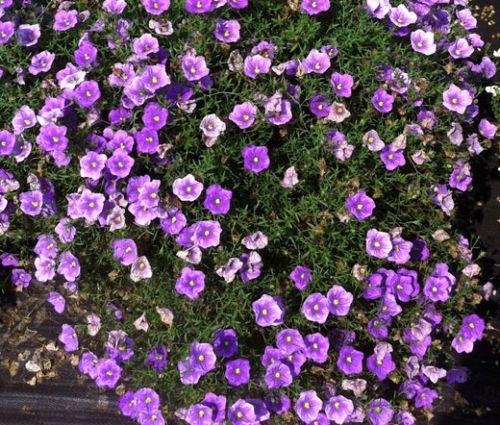 Cup Flower Purple Robe Seeds - Nierembergia Hippomanica