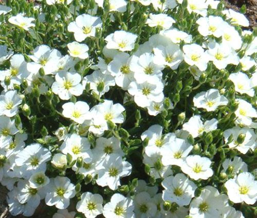 Cup Flower White Robe Seeds - Nierembergia Hippomanica