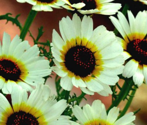 Daisy Painted Polar Star Seeds - Chrysanthemum Carinatum