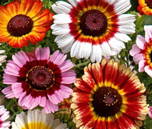 Daisy Painted Seeds - Chrysanthemum Carinatum