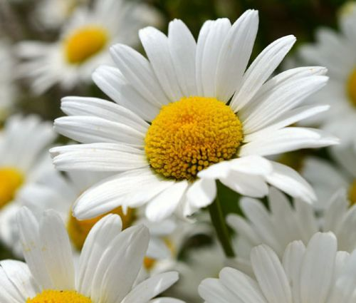Daisy Shasta Seeds - Chrysanthemum Maximum