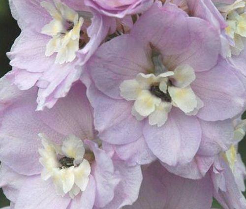 Delphinium Astolat Seeds - Delphinium Cultorum