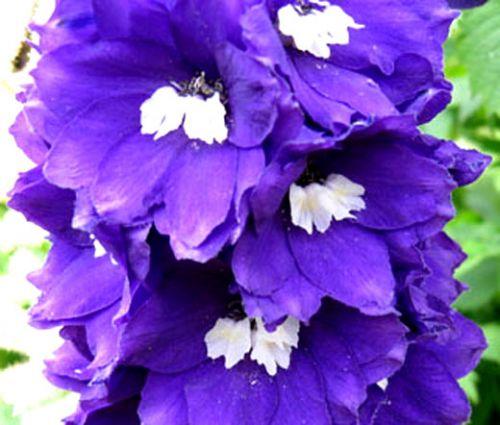 Delphinium King Arthur Seeds - Delphinium Cultorum