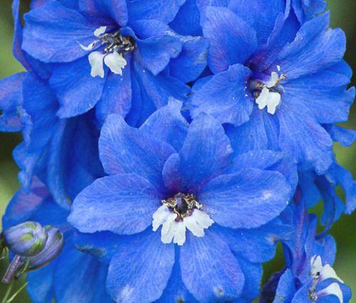 Delphinium Summer Skies Seeds - Delphinium Cultorum