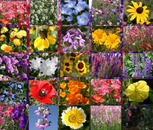 Wildflower Mix Early Bird Seeds