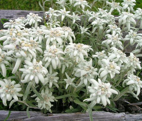 Edelweiss Seeds - Leontopodium Alpinum