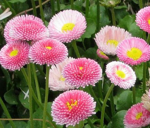English Daisy Bulk Seeds - Bellis Perennis