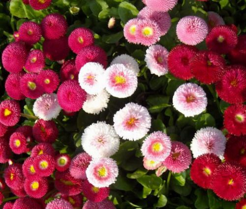 English Daisy Mix Seeds - Bellis Perennis Super Enorma