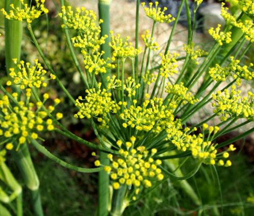 Fennel Florence Seeds - Foeniculum Vulgare