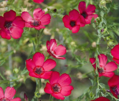 Flax Scarlet Seeds - Linum Grandiflorum Rubrum