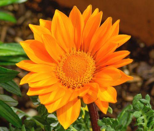 Gazania Garden Leader Orange Seeds - Gazania Rigens