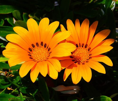Gazania Kiss Orange Seeds - Gazania Rigens