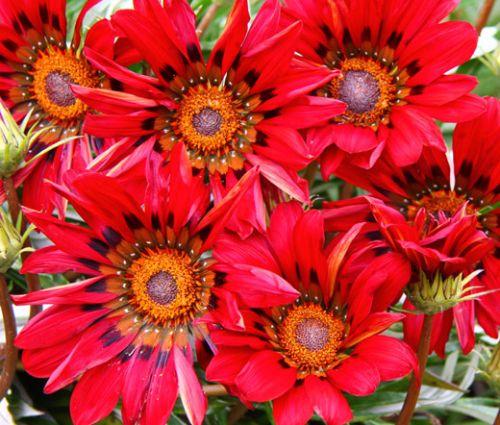 Gazania Red Shades Seeds - Gazania Rigens
