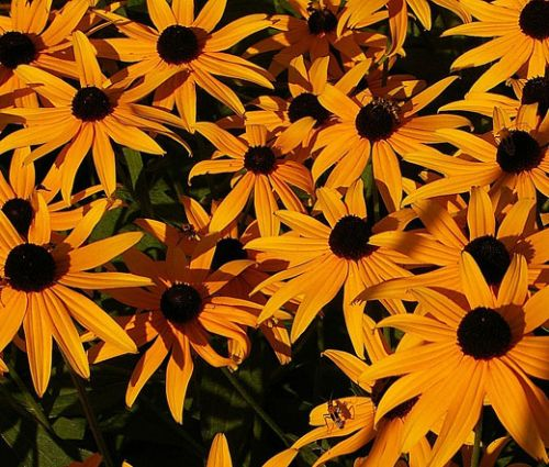 Daisy Gloriosa Seeds - Rudbeckia Hirta Sunset