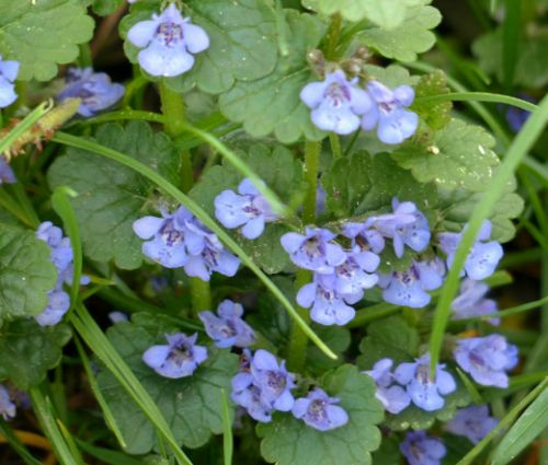 Ground Ivy Seeds - Glechoma Hederacea
