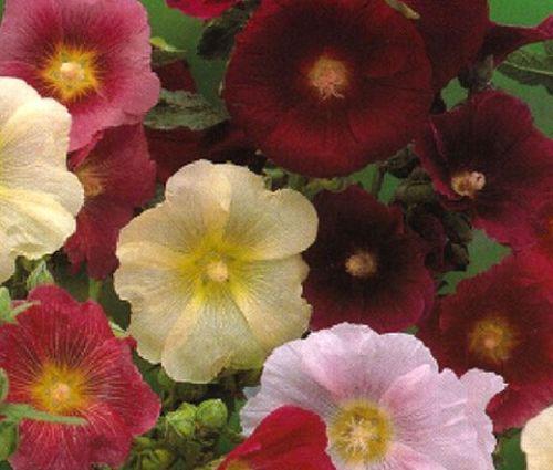 Hollyhock Indian Spring Single Mix Seeds - Alcea Rosea