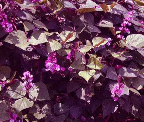 Hyacinth Bean Red Leaved Seeds - Lablab Purpureus