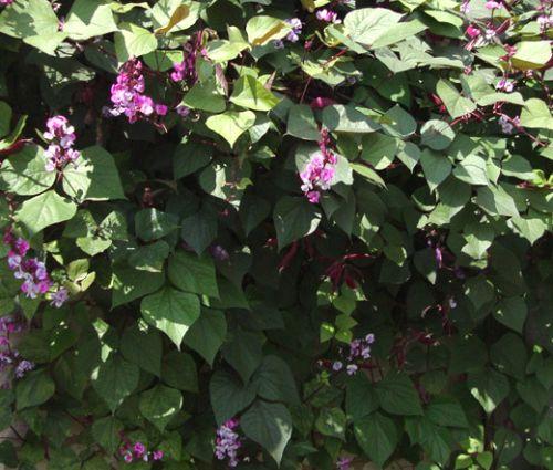 Hyacinth Bean Seeds - Lablab Purpureus
