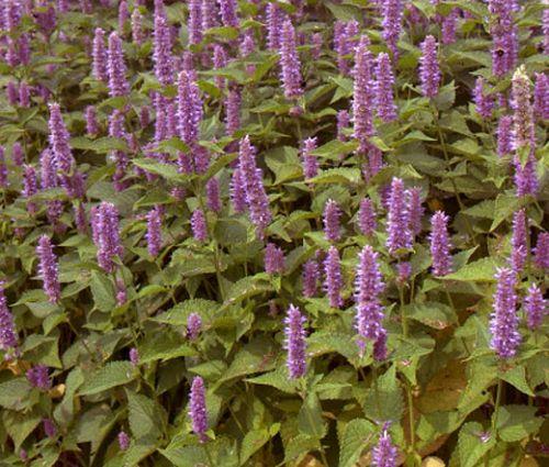 Hyssop Lavender Licorice Mint Bulk Seeds - Agastache Foeniculum