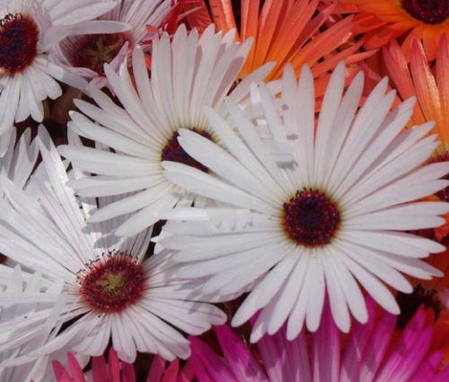 Ice Plant Gelato White Seeds - Dorotheanthus Bellidiformis 2