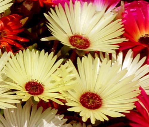 Ice Plant Gelato Yellow Seeds - Dorotheanthus Bellidiformis