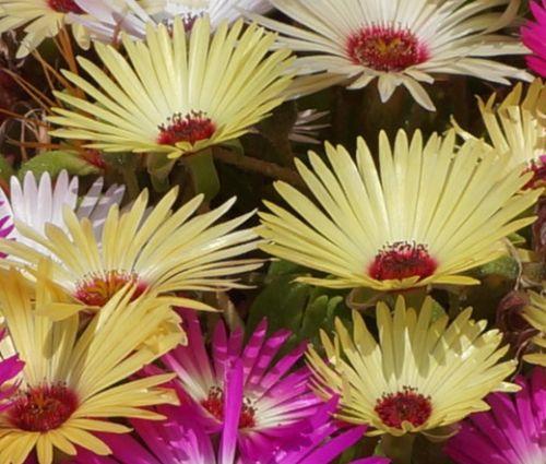 Ice Plant Gelato Yellow Seeds - Dorotheanthus Bellidiformis 2