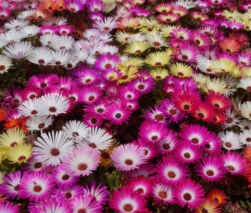Ice Plant Mix Seeds - Dorotheanthus Bellidiformis