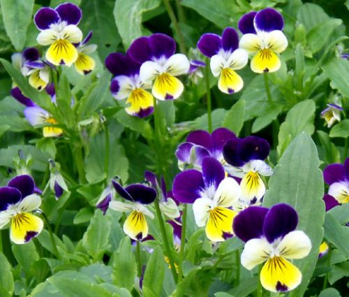 Johnny Jump Up Seeds - Viola Tricolor