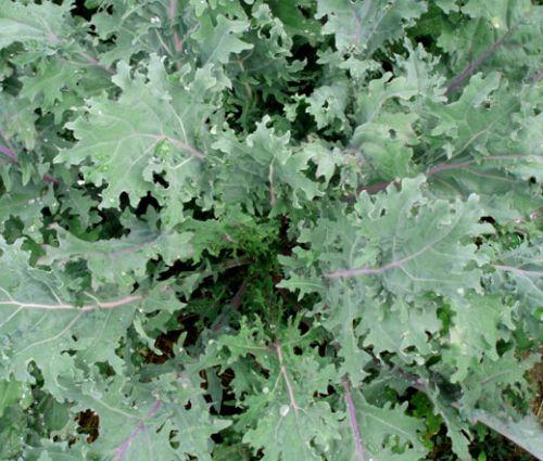 Kale Red Russian Seeds - Brassica Oleracea