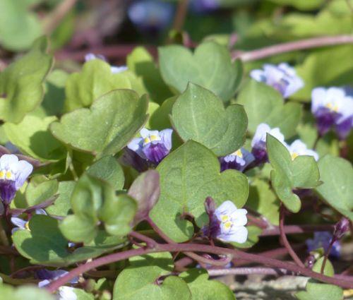 Kenilworth Ivy Seeds - Cymbalaria Muralis