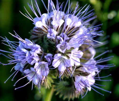 Lacy Phacelia Seeds - Phacelia Tanacetifolia
