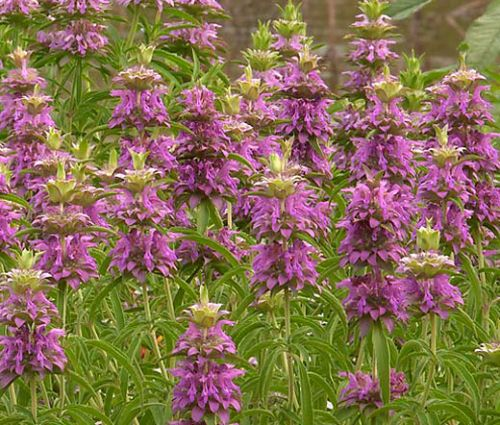 Lemon Mint Bee Balm Bulk Seeds - Monarda Citriodora