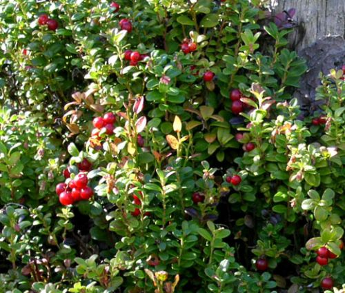 Lingonberry Seeds
