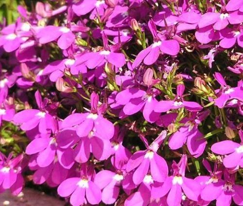 Lobelia Rosamond Seeds - Lobelia Erinus