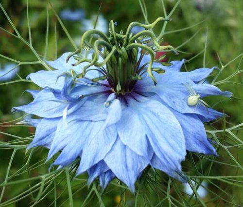 Love-In-A-Mist Jewels Mix Seeds - Nigella Damascena