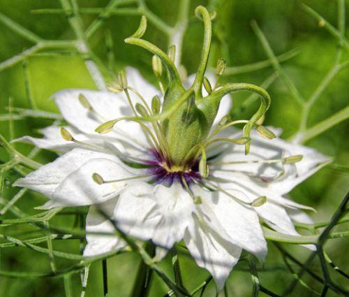 Love In a Mist Jewels Mix Nigella Damascena Seeds