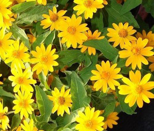 Melampodium Butter Daisy Seeds - Melampodium Divaricatum
