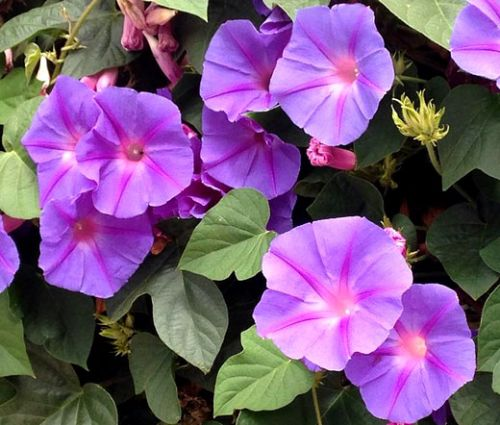 Morning Glory Mixed Seeds - Ipomoea Purpurea