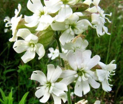Catchfly Nodding White Snowdrop Seeds - Silene Pendula