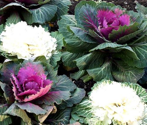 Ornamental Kale Seeds - Brassica Oleracea