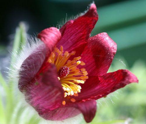 Pasque Flower Red Seeds - Pulsatilla Vulgaris Rubra