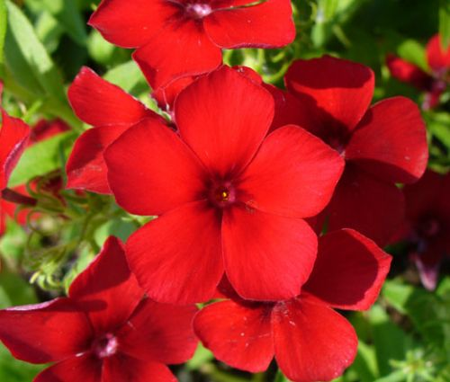 Phlox Red Seeds - Phlox Drummondii
