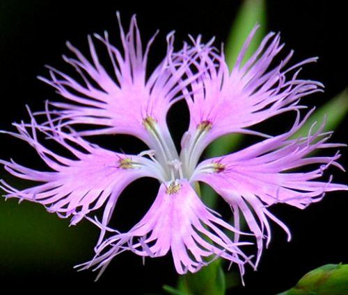 Pink Fringed Seeds - Dianthus Superbus