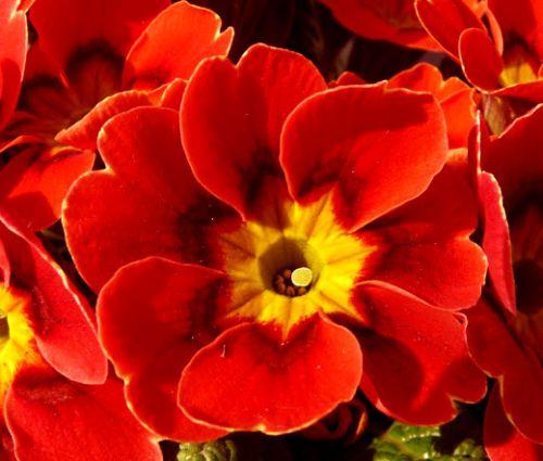 Primrose English Accord Scarlet Seeds - Primula Vulgaris